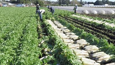 豊作と需要減で野菜の価格暴落